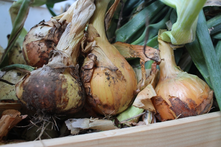 Onions & Lughnasadh: PaganHomesteader